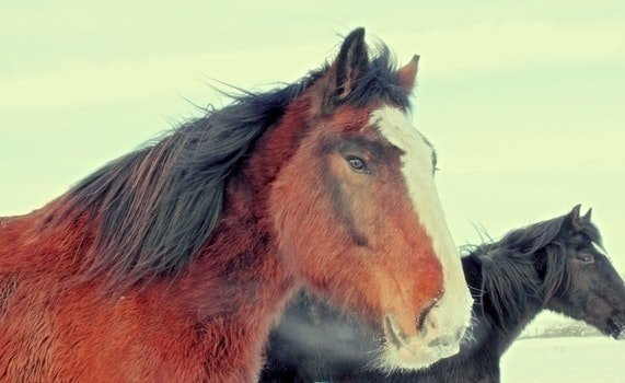 Free stock photo of cold, winter, brown, mane