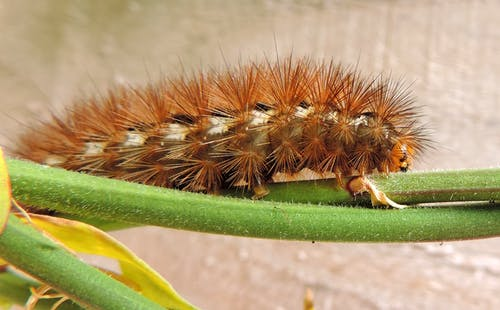 Brown Caterpillar on Plant Stem