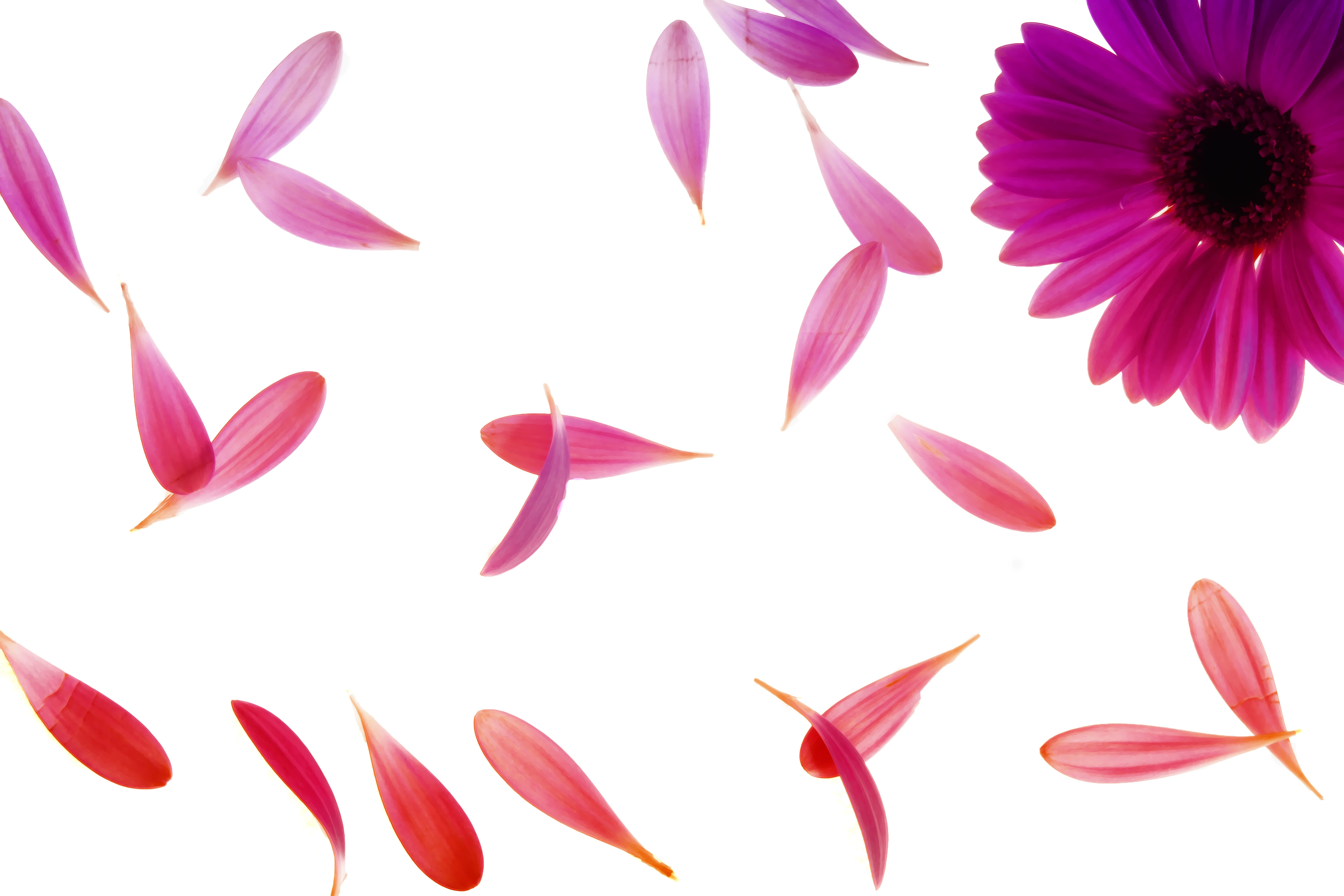 blomma, blommig, daisy
