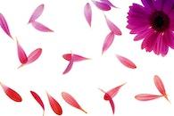 purple, petals, flower