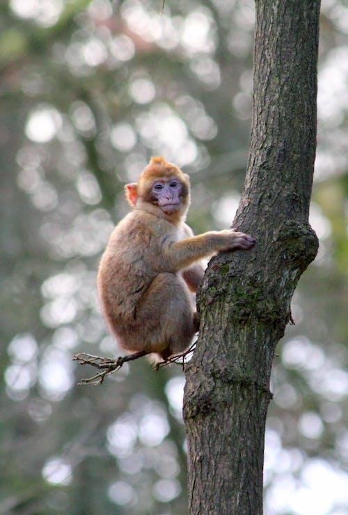 Immagine gratuita di albero, alla ricerca, animale, bertuccia