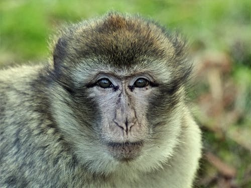 Imagine de stoc gratuită din adorabil, animal, antropoidă, așezat