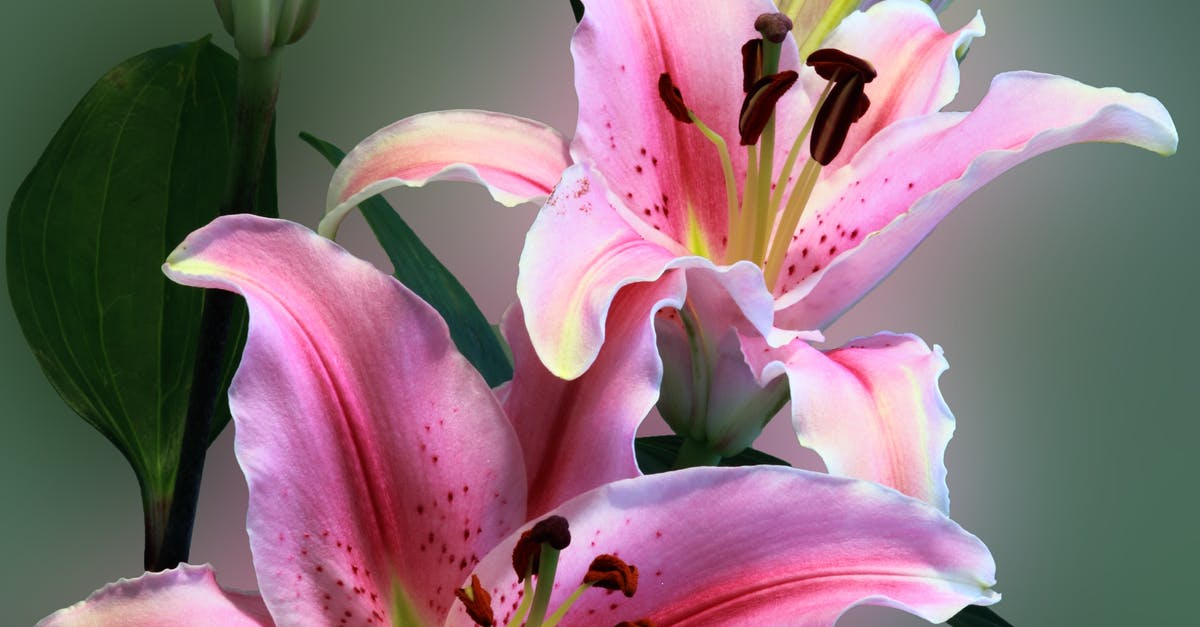 Pink Tiger Lily On Bloom 183 Free Stock Photo
