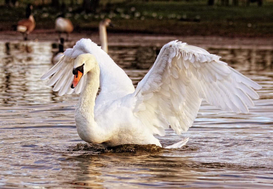 biela, biela labuť, divočina