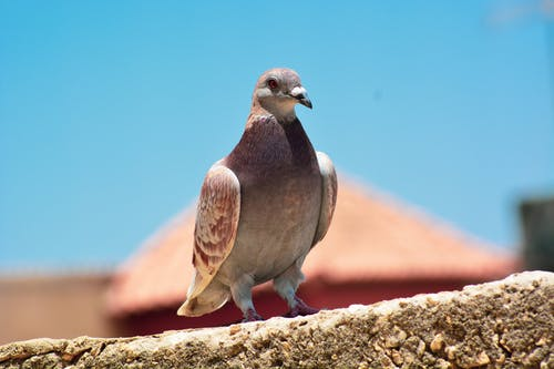 Free stock photo of oiseau, pigeon