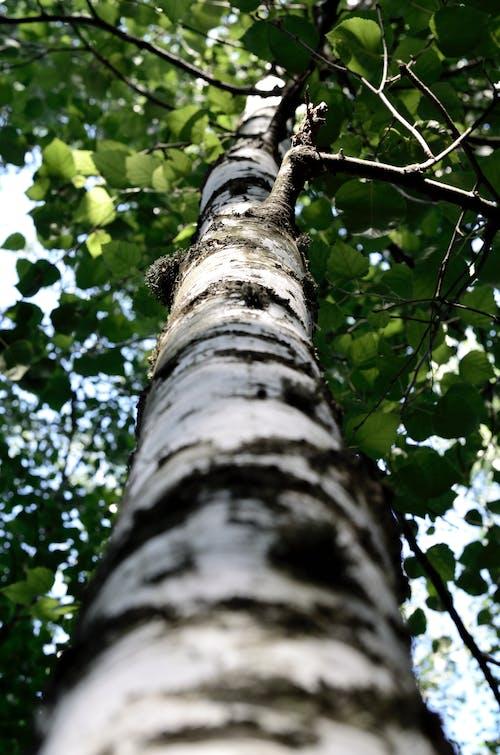 Ảnh lưu trữ miễn phí về chi nhánh, góc chụp thấp, quan điểm, vỏ cây