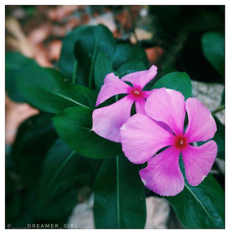 pembe aşk çiçeği