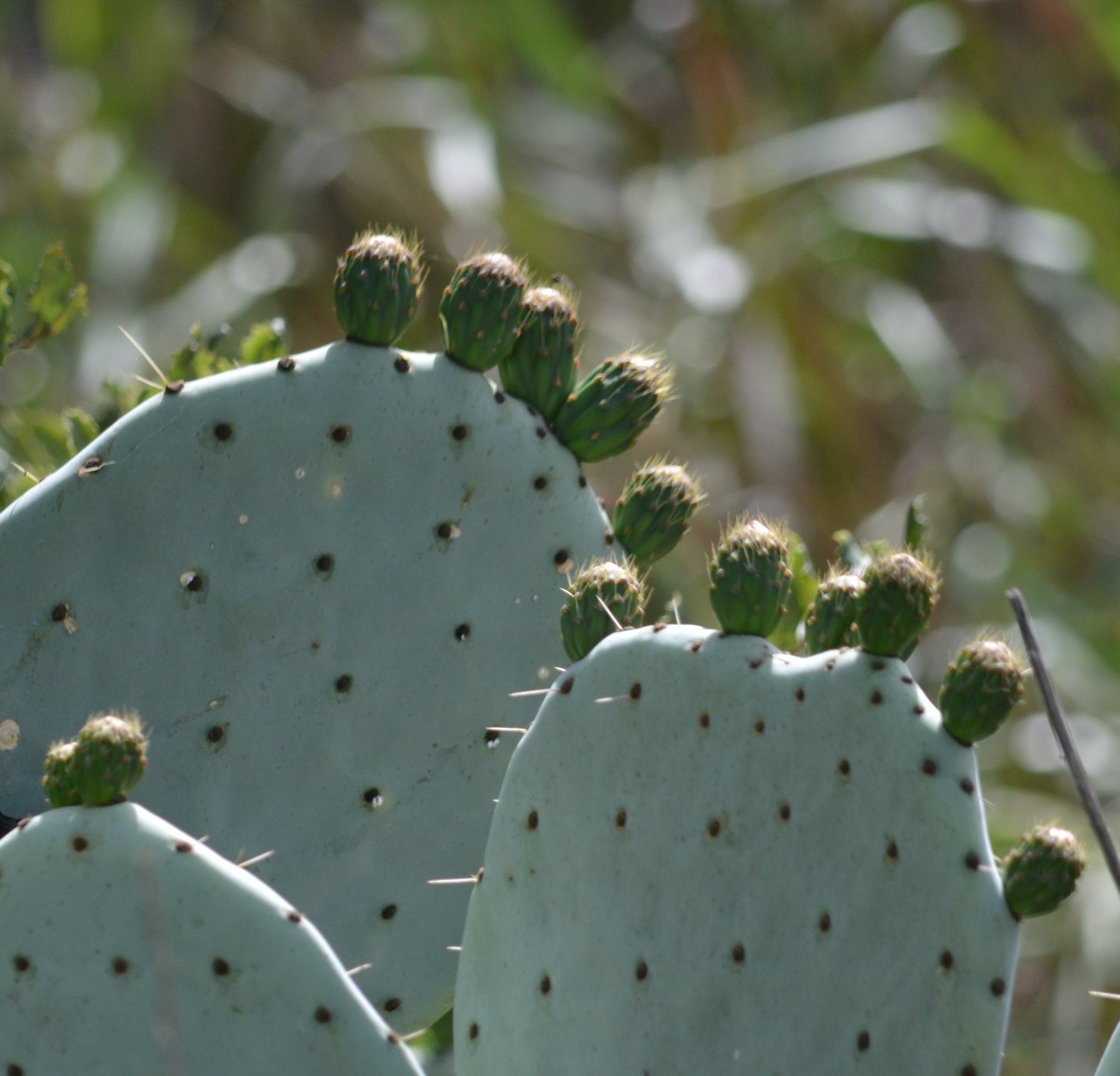 Kostenloses Stock Foto zu kakteen, kaktus, saftig, wüstenpflanzen