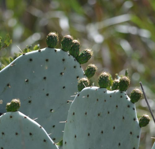 Foto d'estoc gratuïta de cactus, plantes del desert, suculenta
