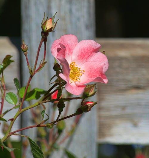 Fotobanka sbezplatnými fotkami na tému biele ruže, botanická záhrada, broskyňové kvety, červené ruže