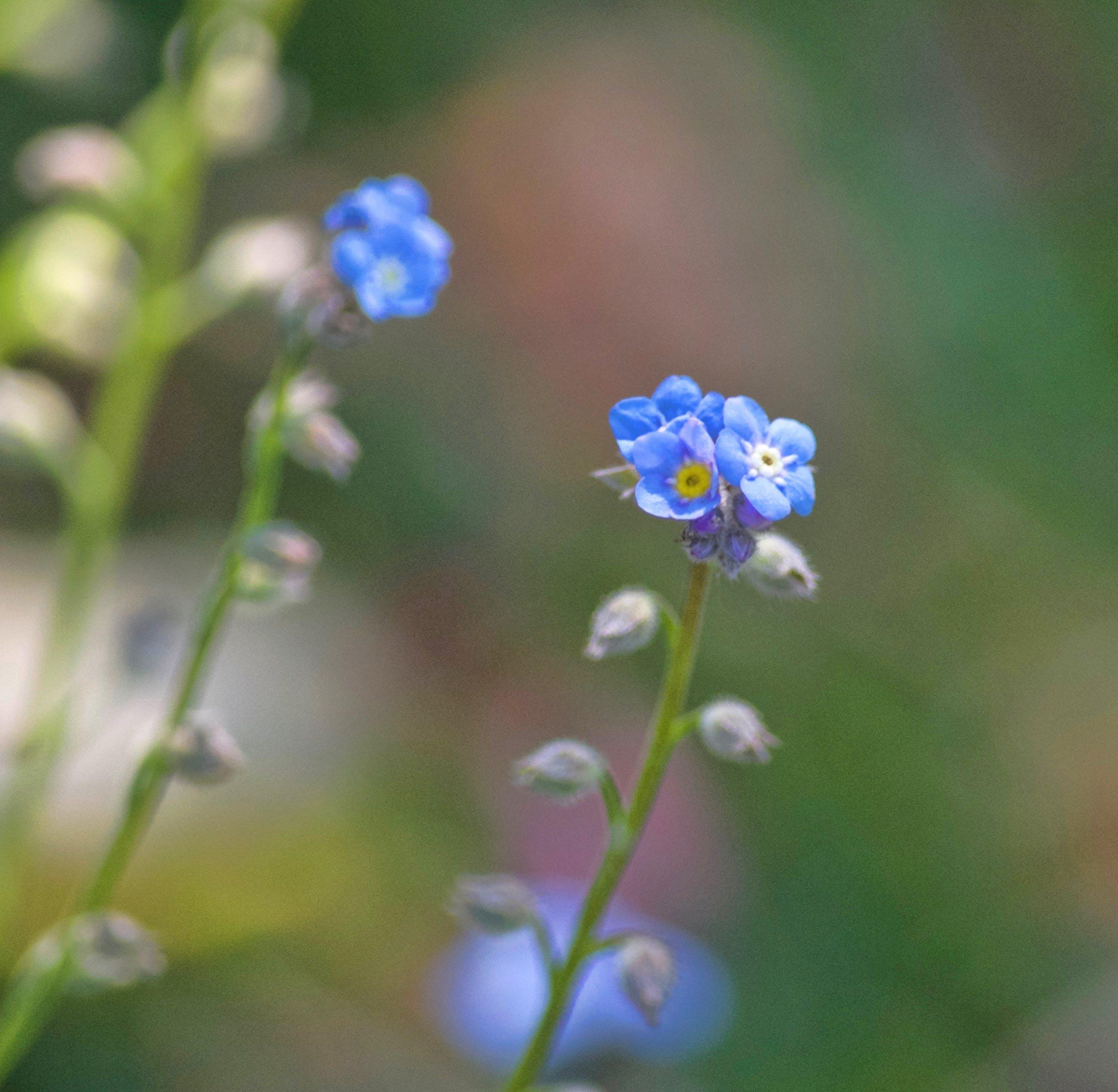 Kostenloses Stock Foto zu blau, blumen, bunte blumen, detail