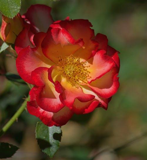Fotobanka sbezplatnými fotkami na tému biele ruže, botanická záhrada, červená, červené ruže