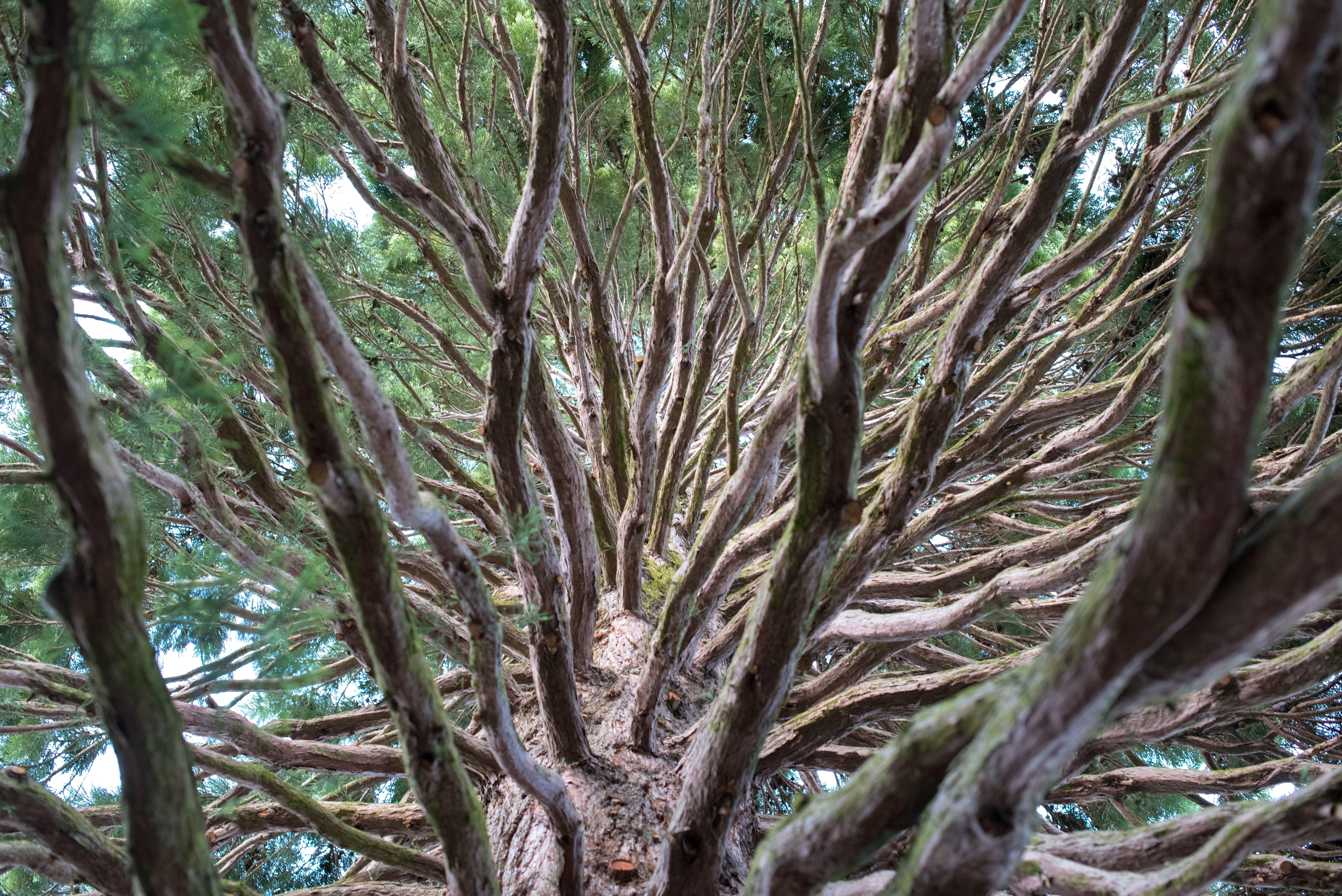 Základová fotografie zdarma na téma les, sekvoje, strom, větve stromu