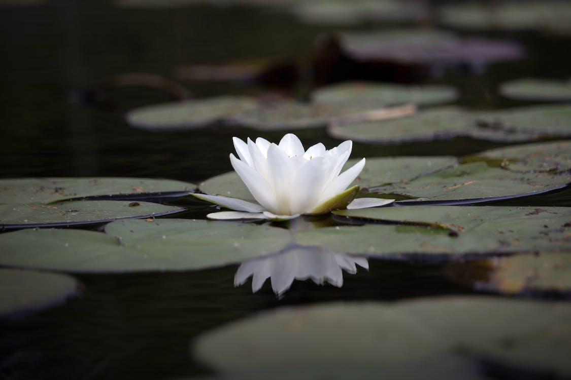 acqua, fiore, ninfea