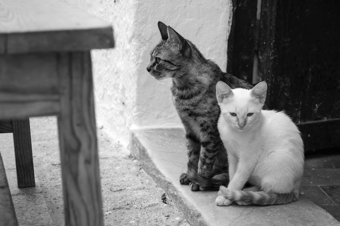 chats, noir et blanc