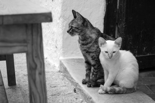 Free stock photo of black-and-white, cats
