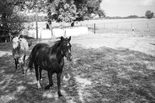 Ilmainen kuvapankkikuva tunnisteilla hevonen, luonto, maatila, mustavalkoinen