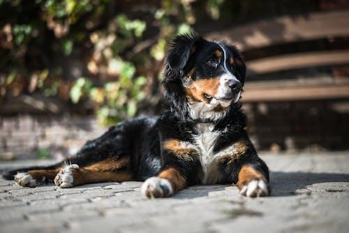Fotobanka sbezplatnými fotkami na tému bernasen, bernský salašnícky pes, cicavec, domáce zviera