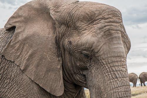 Základová fotografie zdarma na téma savana, slon, tlustokožec, zblízka