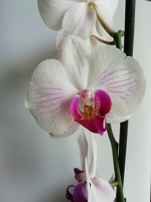Free stock photo of phalaenopsis, white