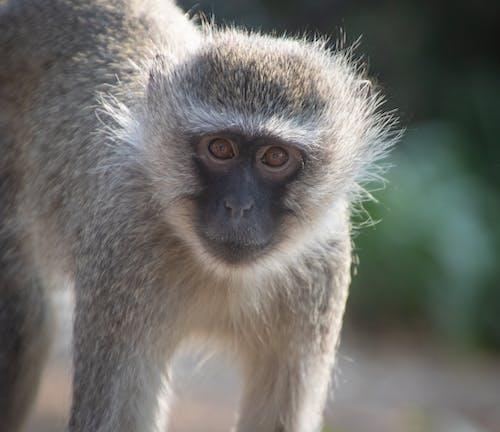 Gratis arkivbilde med ape, apekatt, bavian, dyr