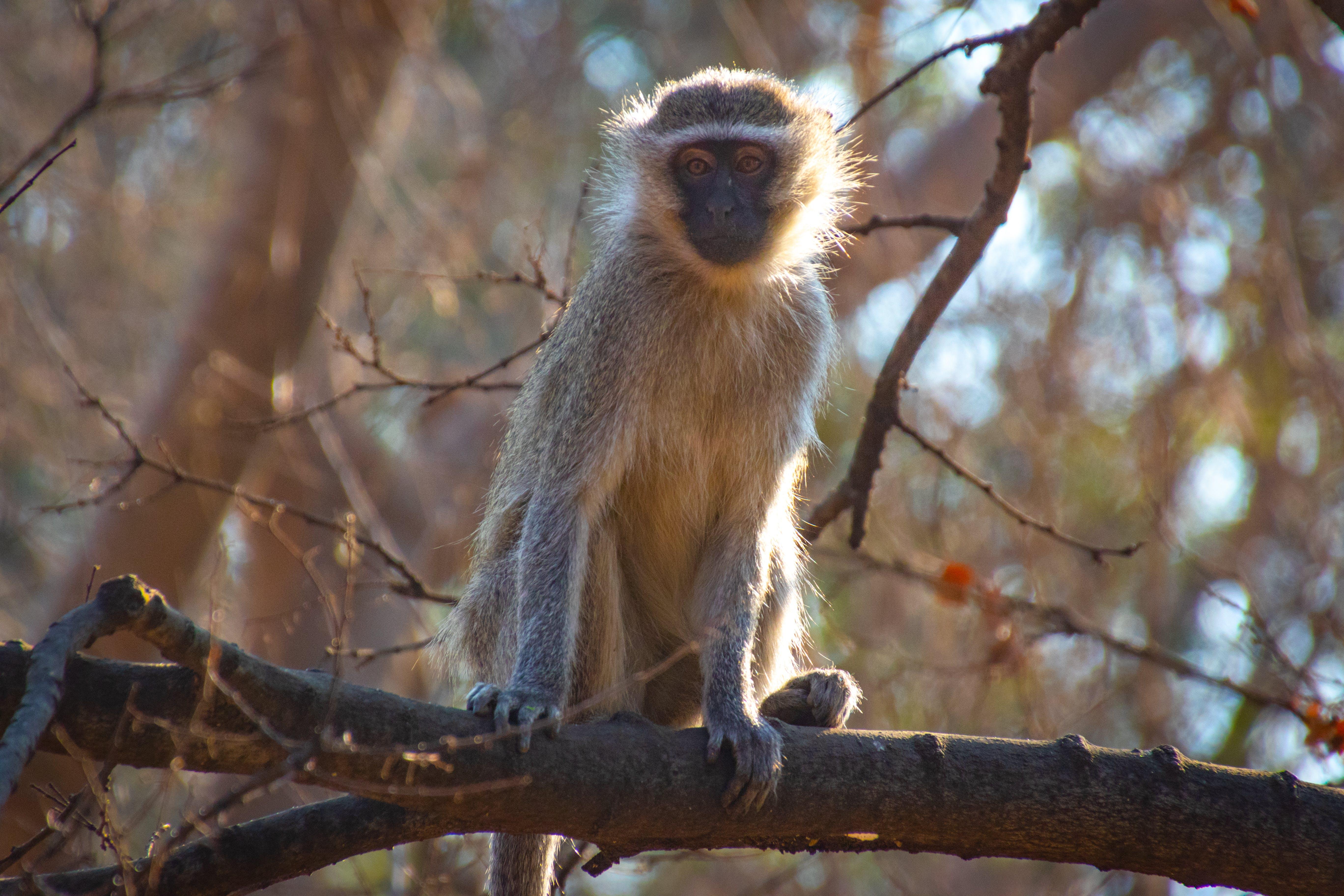 Beige Chimpanzee on Focus Photo