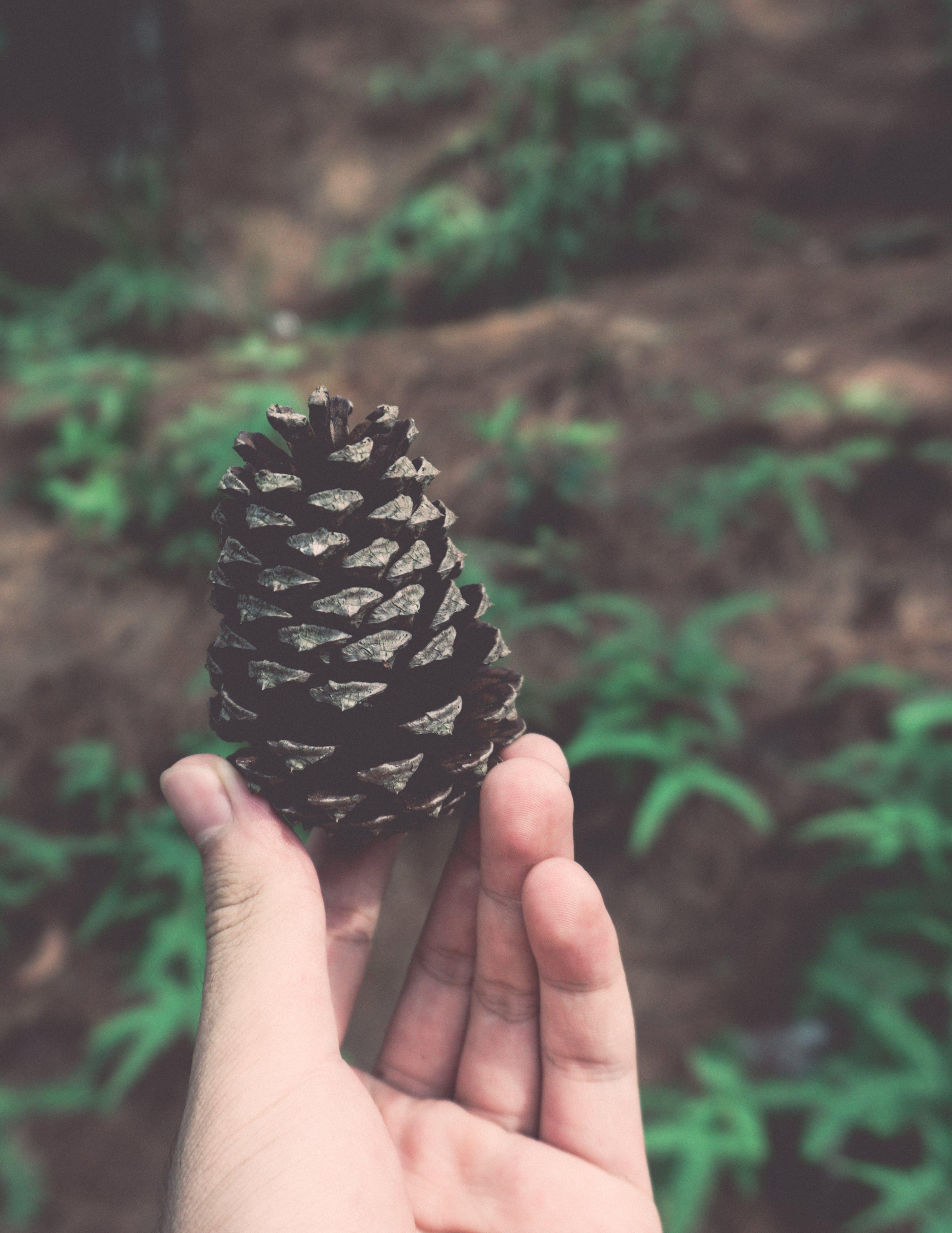 Person Holding Pine Cone