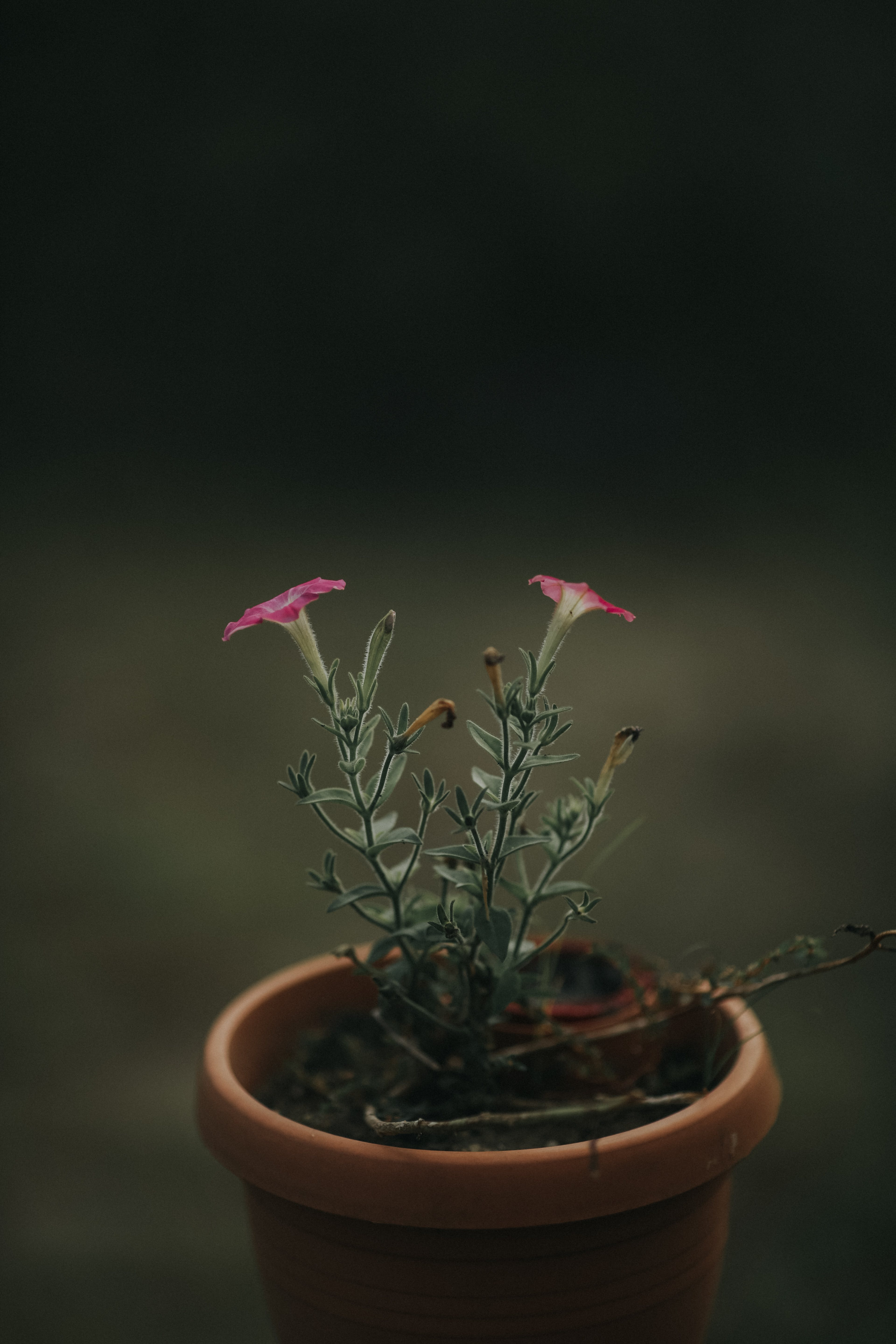 Close-up Photo of Pink Petaled Flower With Brown Pot