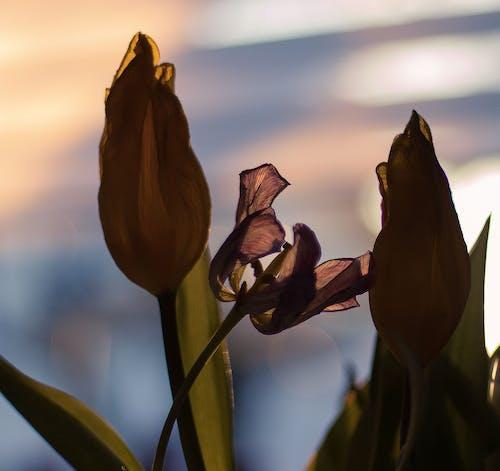 Foto profissional grátis de entardecer, flor, fundo desfocado, murcho