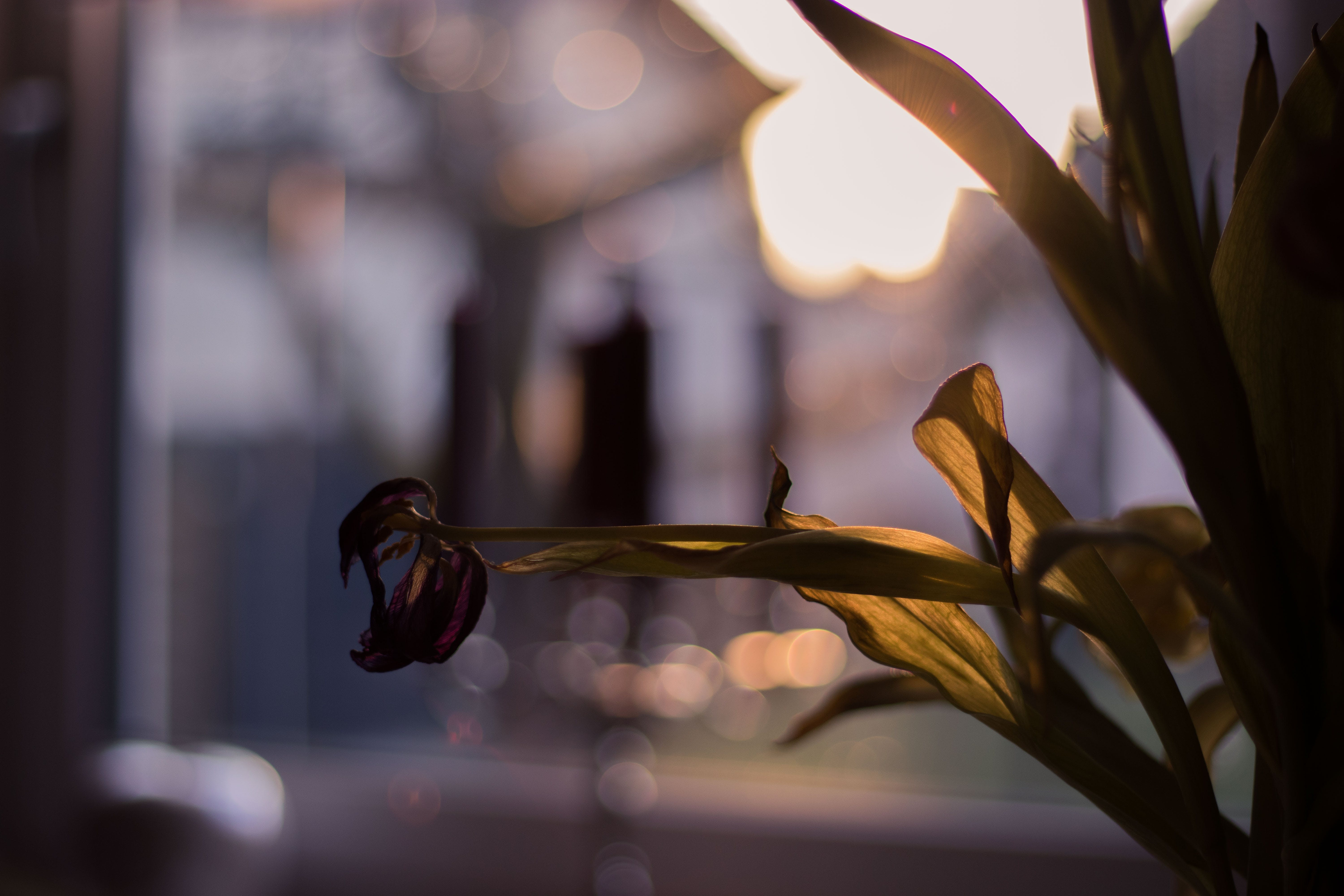 Free stock photo of blurry background, evening sun, flower, Seared