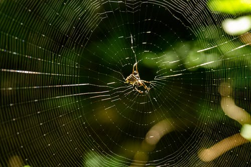 Brown Spider on Spiderweb