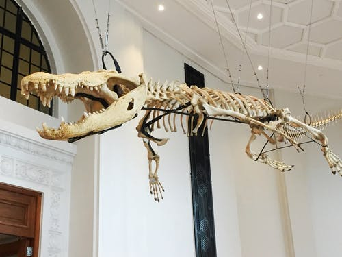 Free stock photo of lolong, museum, skeleton