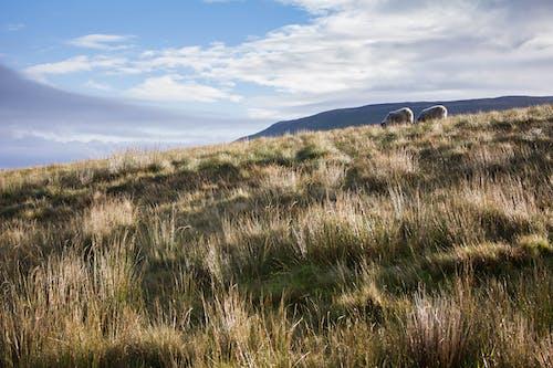 koyun, koyunlar, Yorkshire içeren Ücretsiz stok fotoğraf