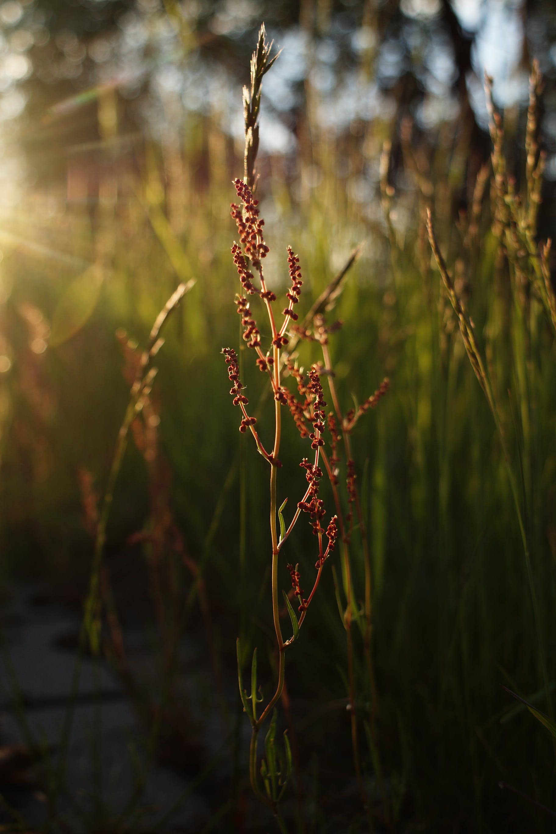 Free stock photo of nature, sunset, grass, plants