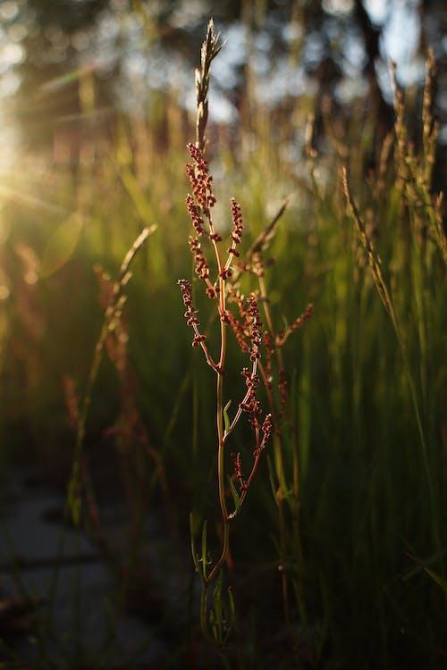 bitkiler, çim, doğa, gün batımı içeren Ücretsiz stok fotoğraf