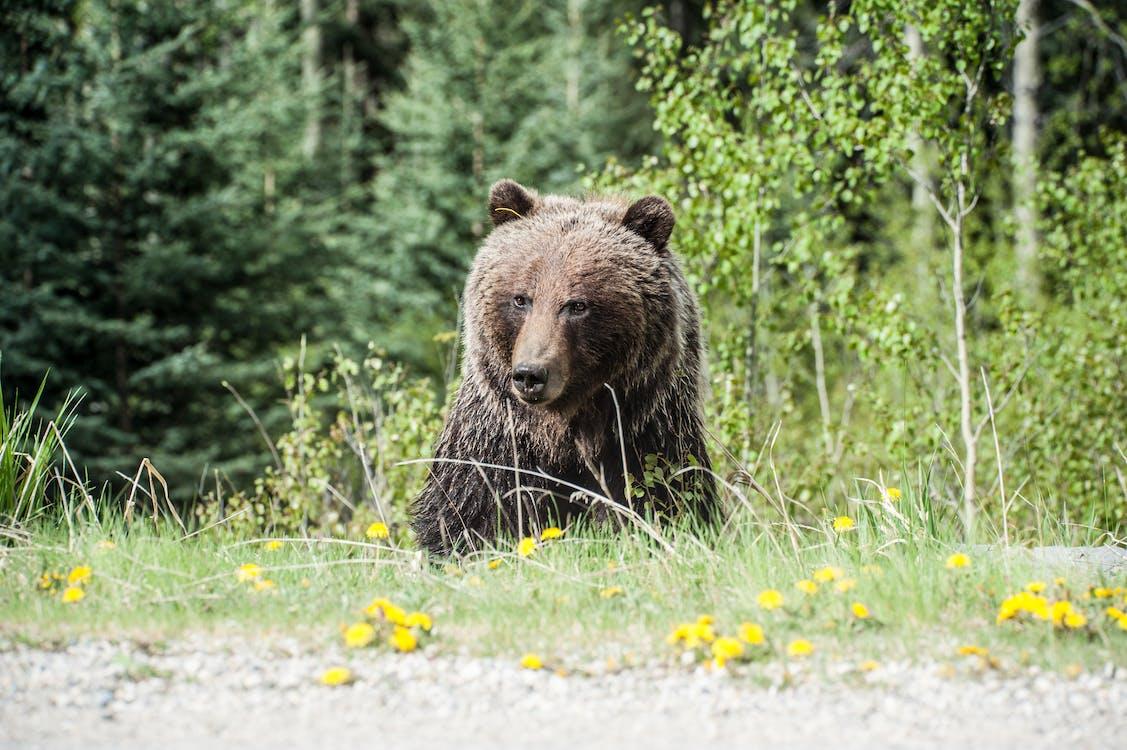 bane, bjørn, blomster
