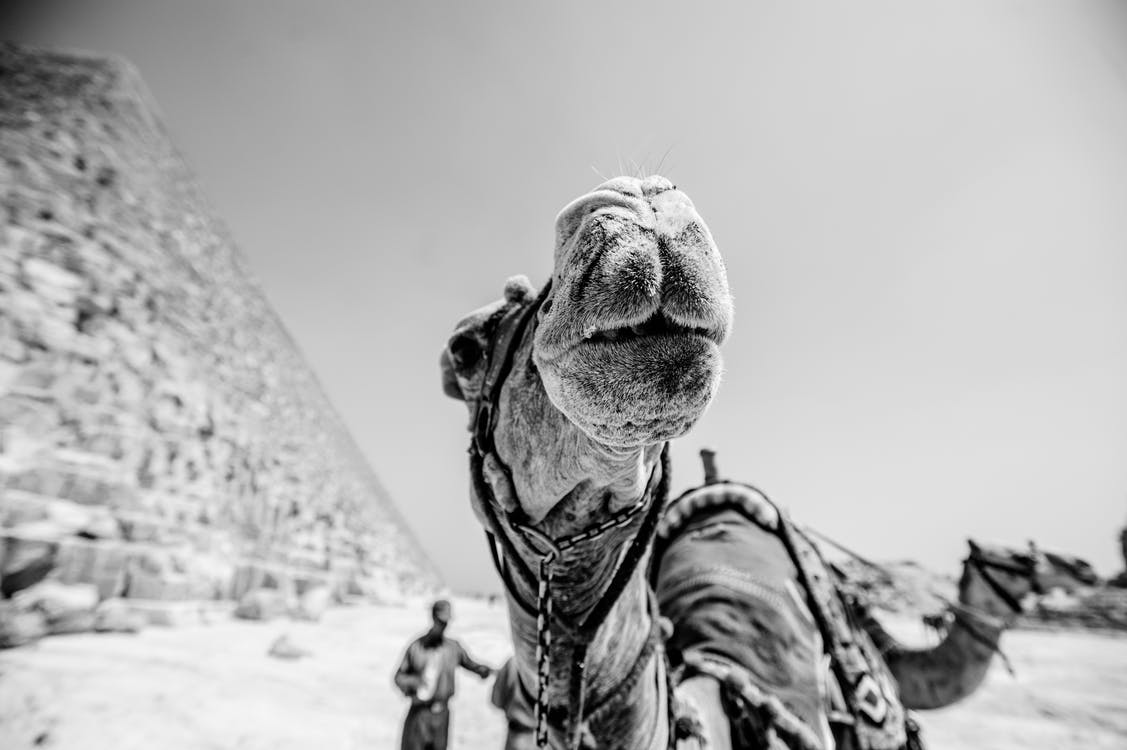 Grayscale Photography of Camel