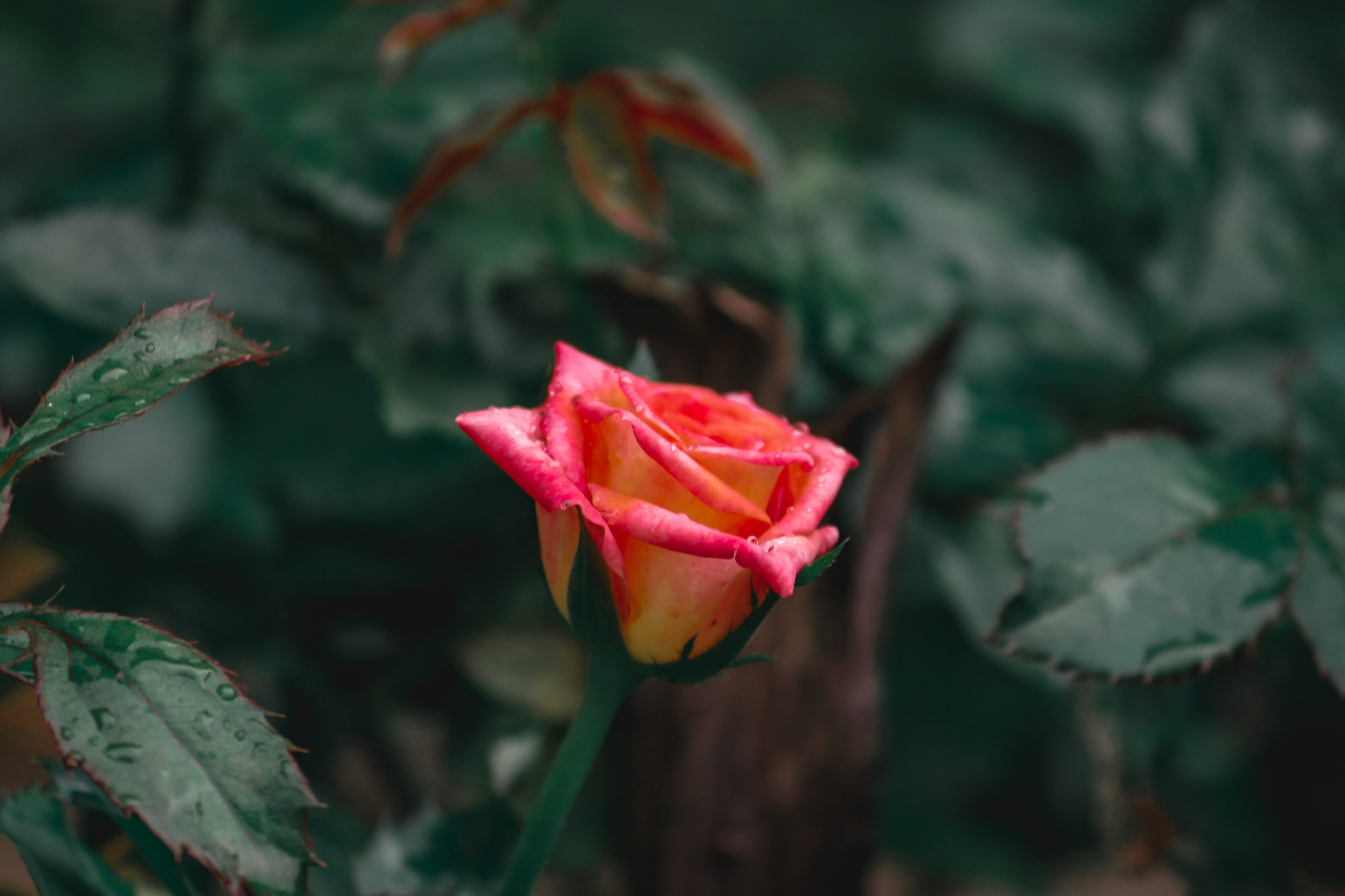 Free stock photo of rose #rose #pink #love #hdwallpapers