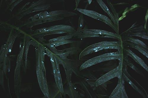 Бесплатное стоковое фото с капли дождя, мокрый, монстера, обои 4k