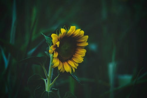 Shallow Focus Photography of Sunflower