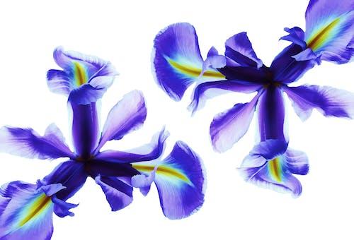 Gratis stockfoto met alleen, blauw, bloem, bloemachtig