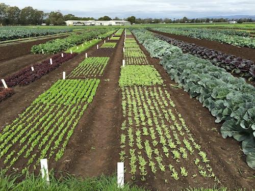 Kostenloses Stock Foto zu dünger, gemüse, landwirtschaft