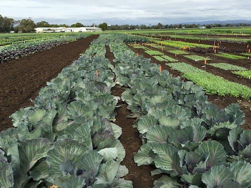 Free stock photo of farming, fertilizer, vegetable