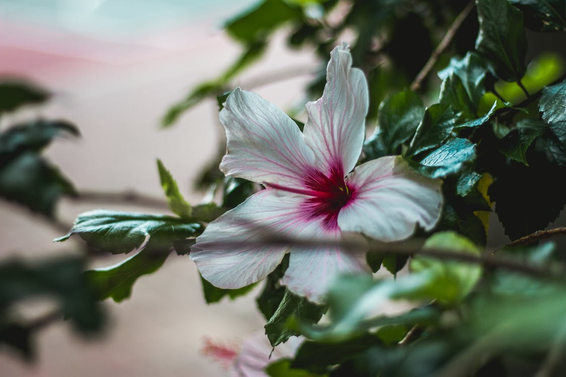 Close Up Photography of White and Pink Hibiscus Flower