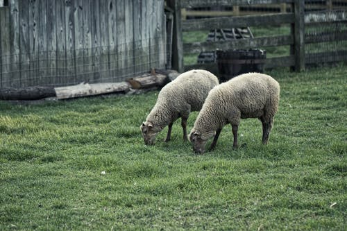 Two Brown Sheep on Grass Field Near Brown Wooden Fence