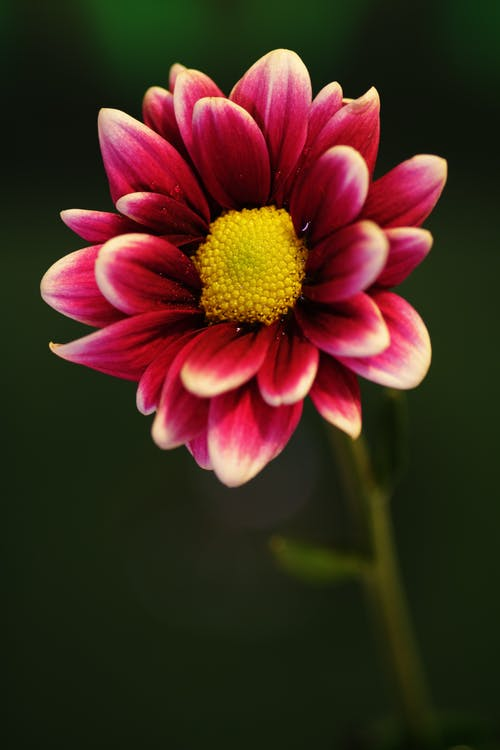 Selective Focus Photography of Pink and White Daisy Flower