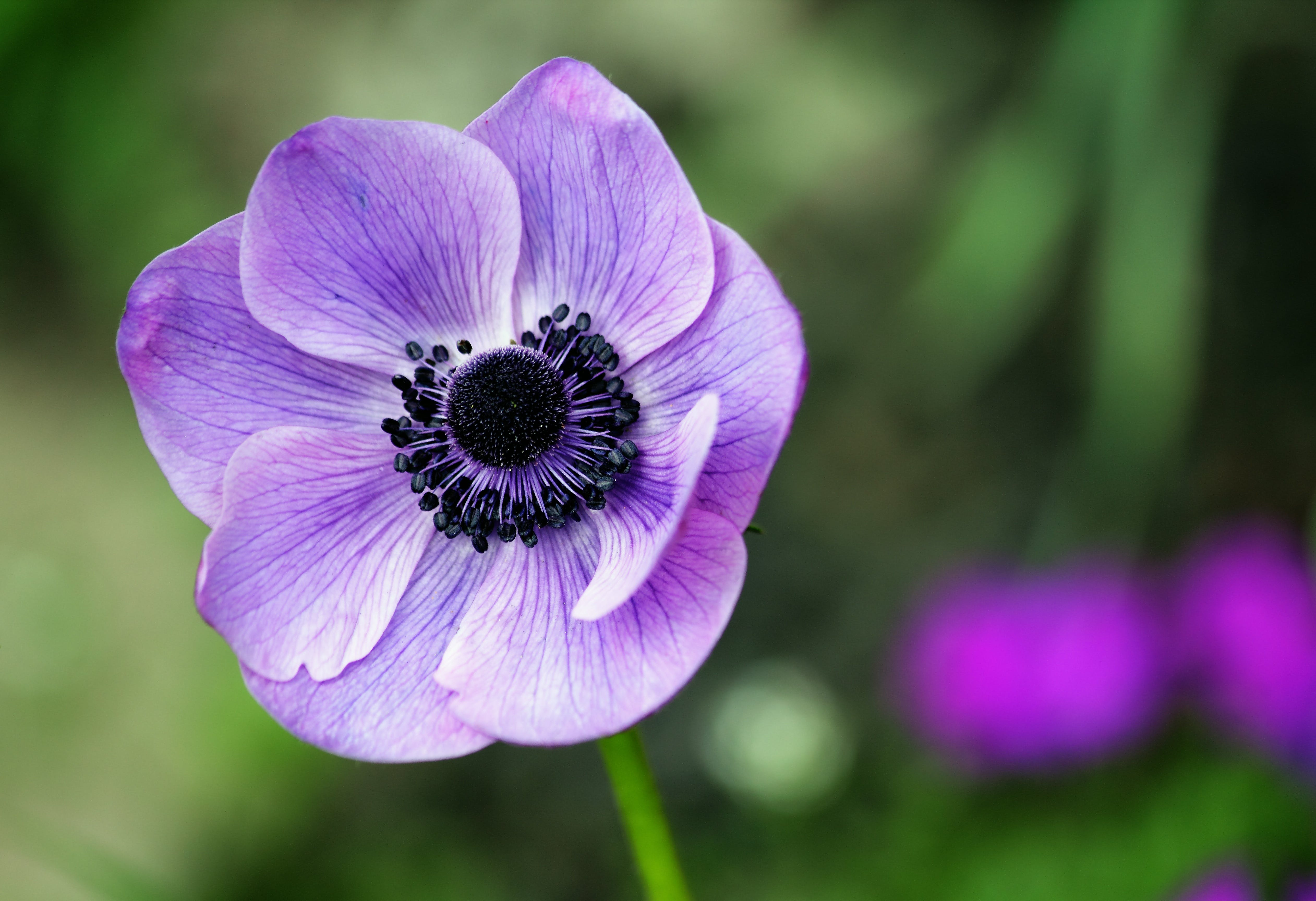 Selective Focus Photography of Purple Anemone Flower in Bloom