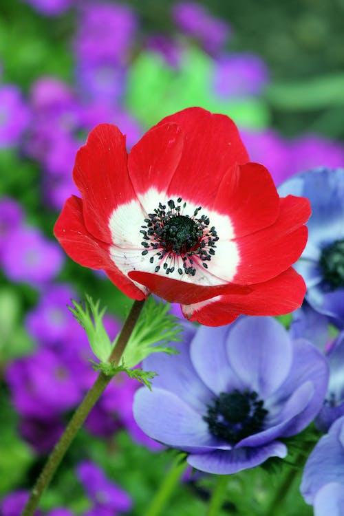 Red and White Petaled Flower Beside Purple Petaleed Flower