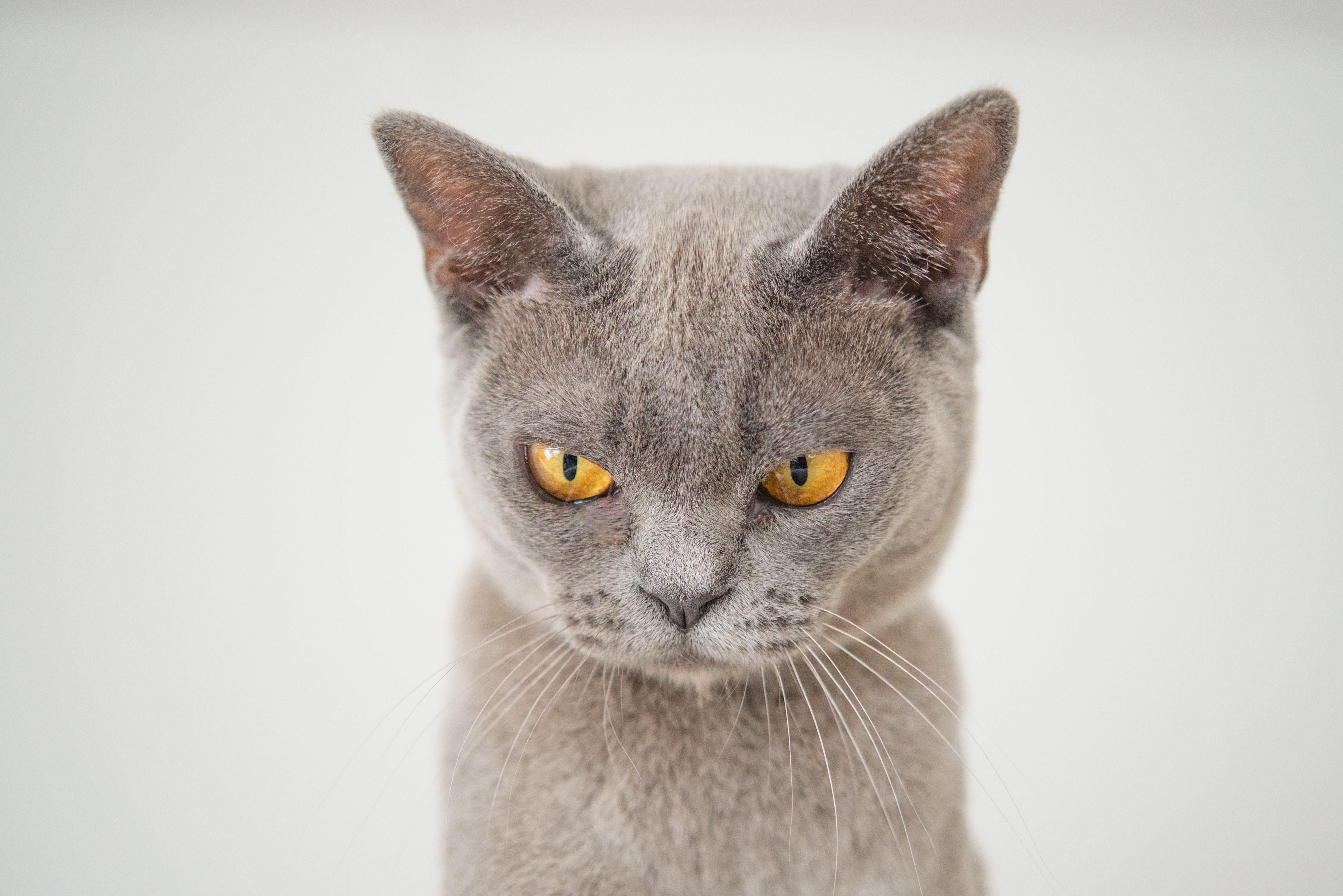 Gray Cat And White Face