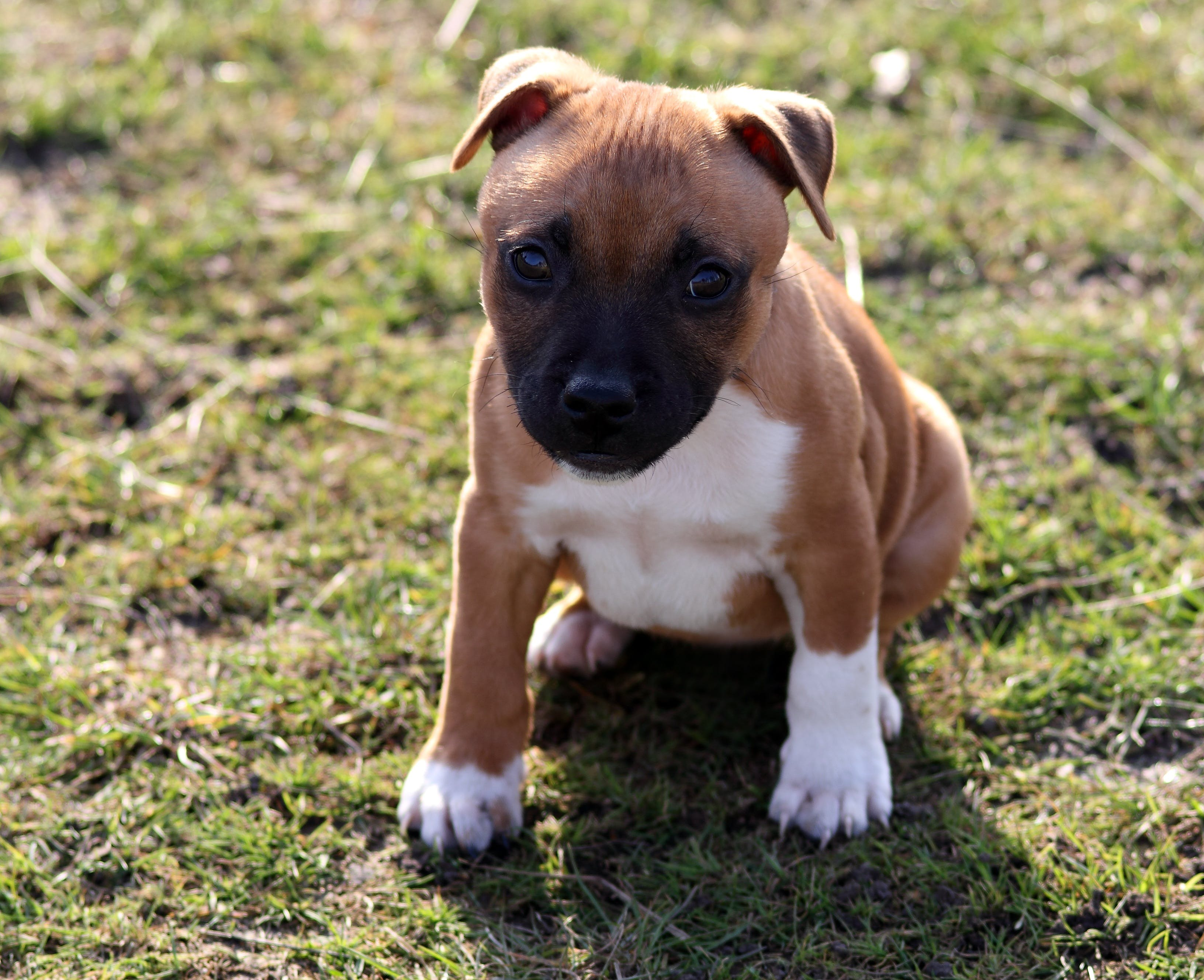 Selective Focus Photography of American Pit Bull Terrier Puppy on Grass Field